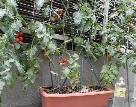 tomato-hachi