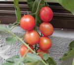 tomato09